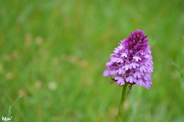 170603_eurre_1_orchis_pyramidal