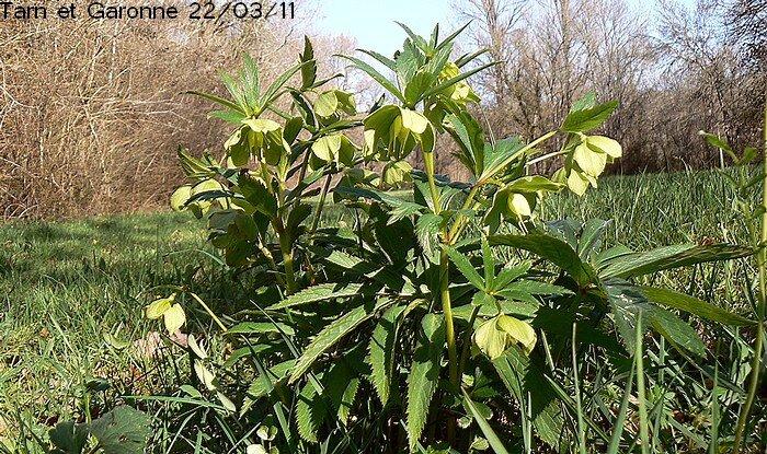 fleurs verdâtres en cymes longuement pédicellées penchées après fécondation