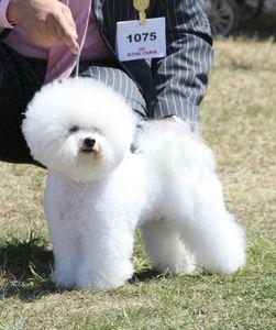 chiens-Bichon-frise-b3bf5233-508d-e004-0150-4bbd62a0e9b4