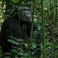Muséum national d'histoire naturelle : « ensemble, pour l'avenir des grands singes »