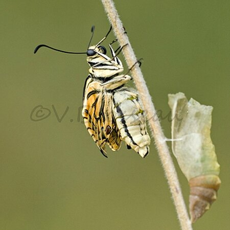 machaon007b