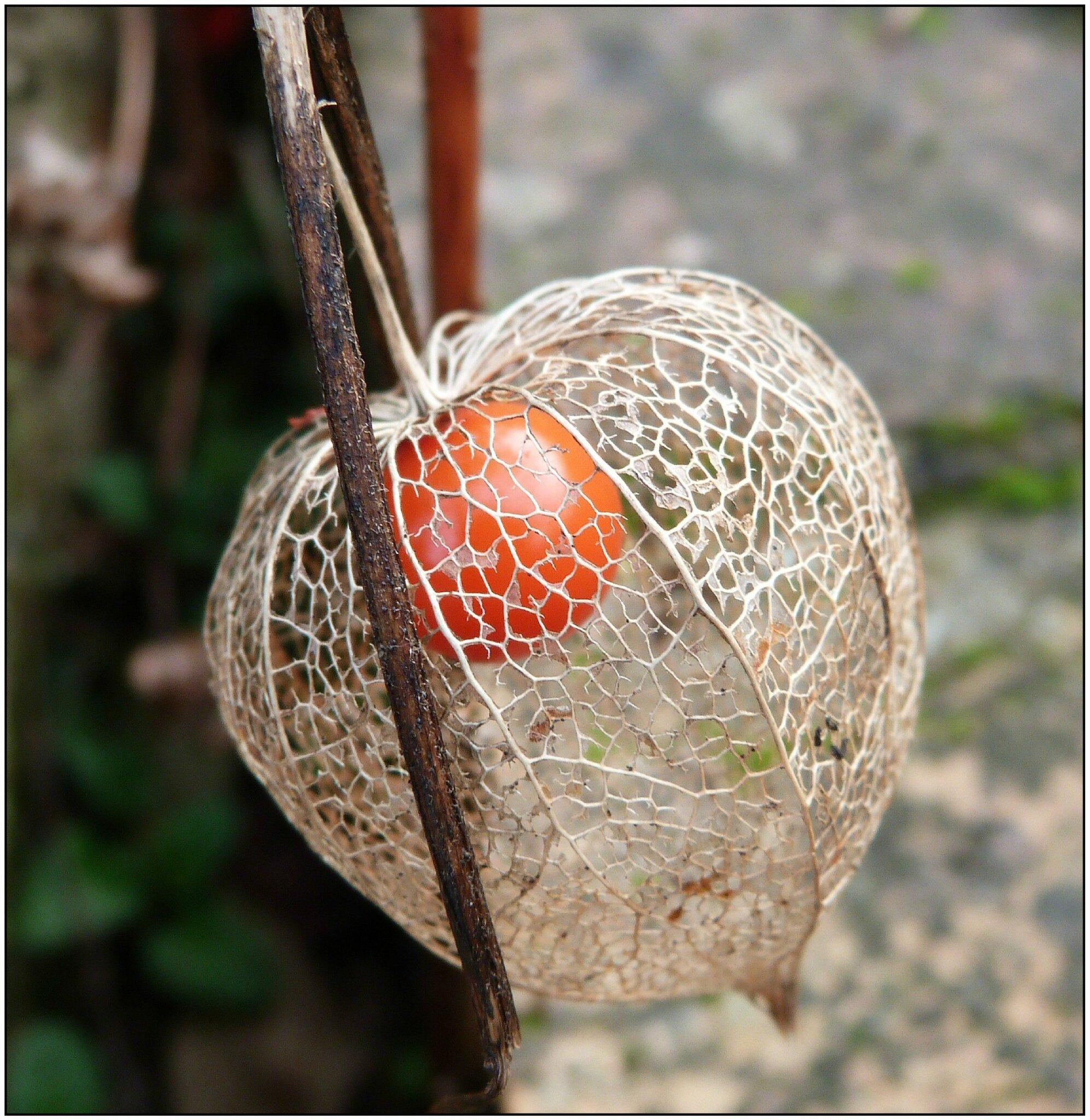 Amour en cage mon univers regard sur la nature cr ations - Fruit cage d amour ...