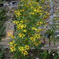 2009 09 12 Rudbeckia Herbstsonne