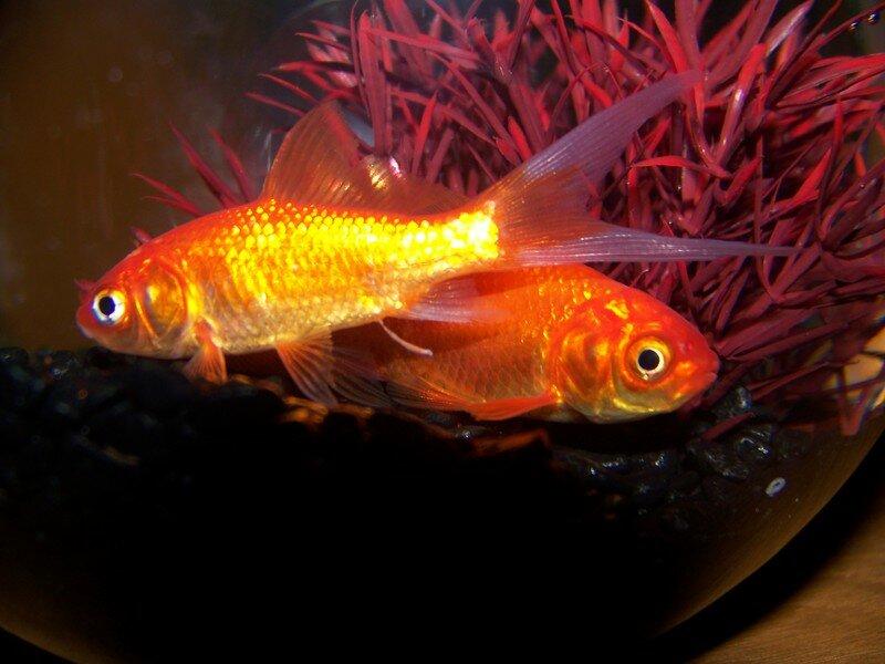 Nos deux poissons rouges...