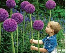 2016-Hot-100-Purple-Giant-Allium-Giganteum-seeds-Beautiful-Flower-Seeds-font-b-Garden-b-font (2)