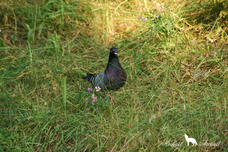 Pigeons genuine-homer 7