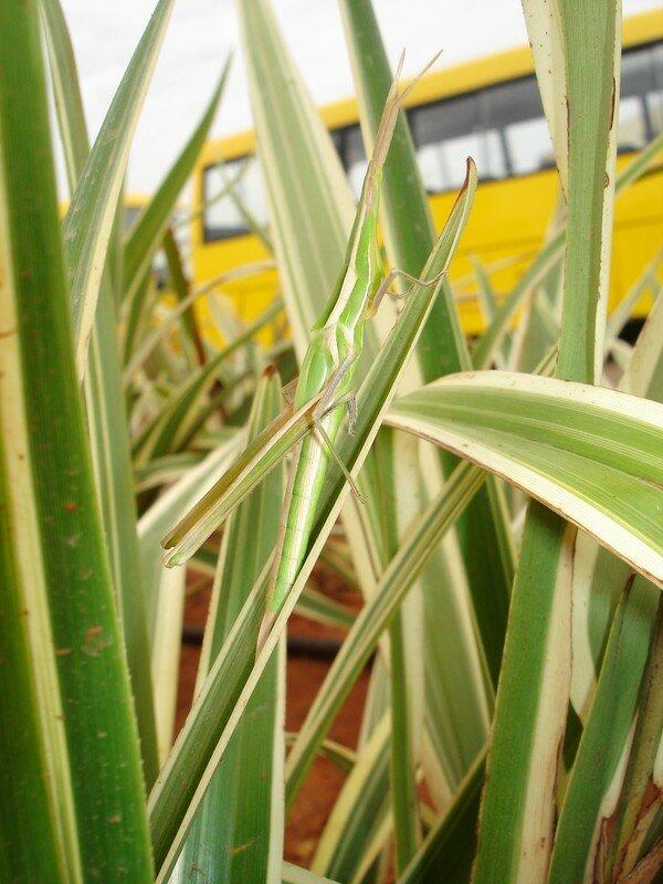 une mante-religieuse qui se confond avec ces plantes vertes et blanches