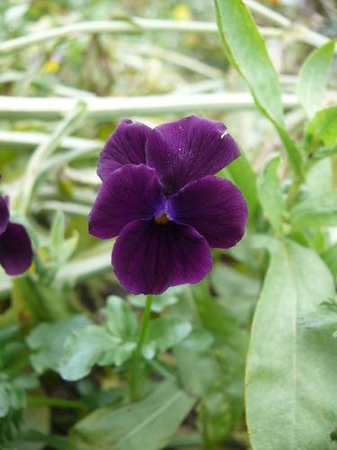 2008 11 11 Une fleur de pensée