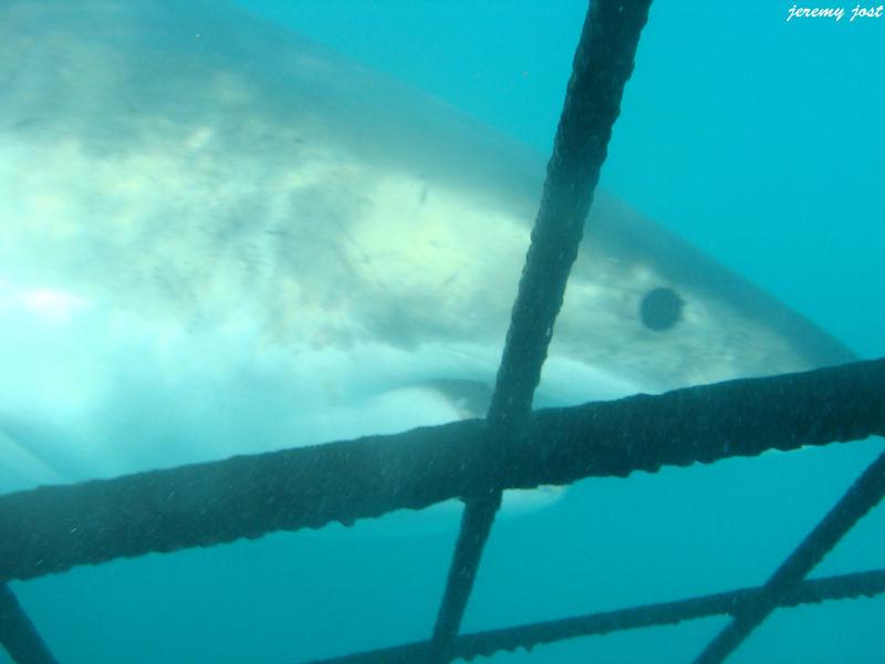 Requin blanc à nos pieds