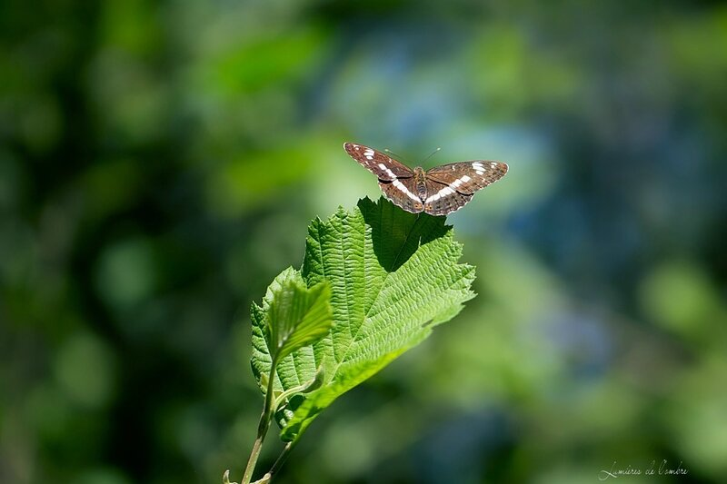 w_Papillon brun_20170621_1075