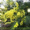 Au coeur des mimosas