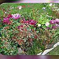 balanicole_2016_05_avril tulipes_72_cap est mis