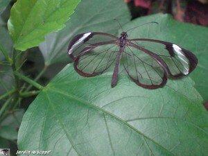 Greta otto • Ithomiidae