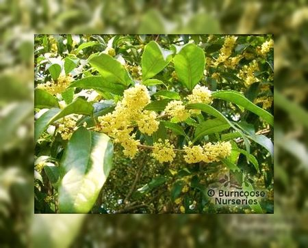 Osmanthus_fragrans2
