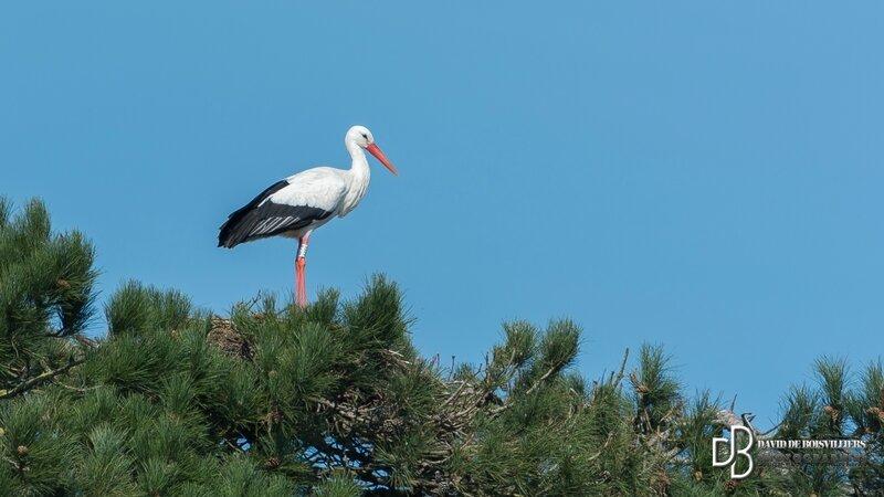 Cigogne blanche (Ciconia ciconia - White Stork)