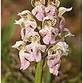 Orchis lacté : neotinea lactea