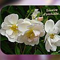 balanicole_2016_02_fevrier_rosiers1_57_sourire orchidee1
