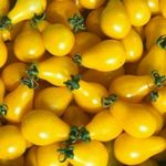 graines-tomate-poire-jaune-open-pollinated-tomato-seeds