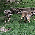 32 - Loups