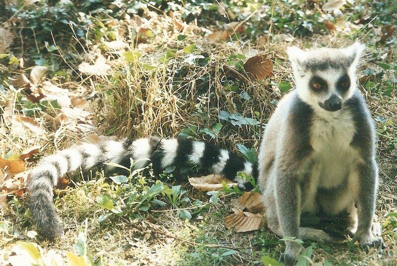 La Boissière-du-Doré, zoo, lémurien (44)