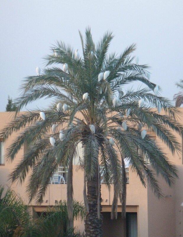 palmier aux aigrettes