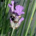 Blatte ou Cafard pâle • Ectobius pallidus (juvenile)