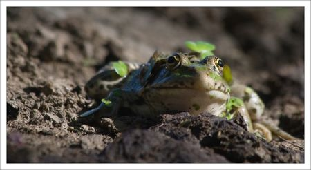 Roussille_mare_grenouille_face_220809