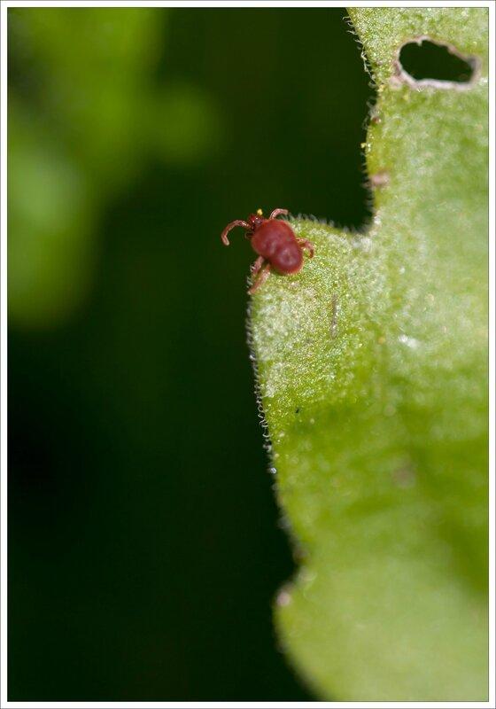insecte trombidion vertige 060315