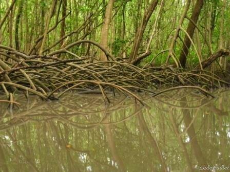 mangrove__3_