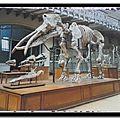 Muséum d'histoire naturelle - archéobelodon filholi
