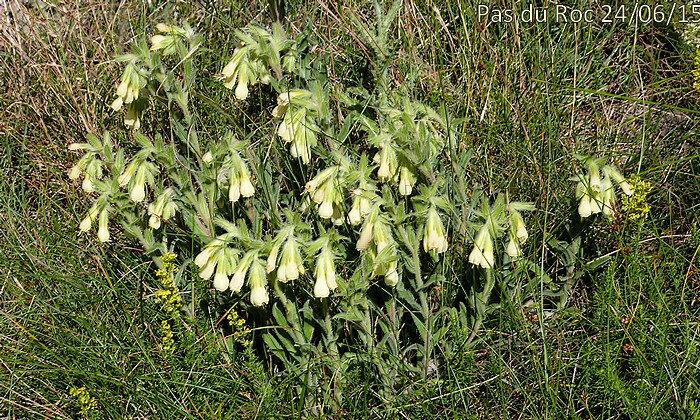 Onosma pseudoarenaria subsp delphinensis