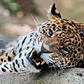 leopard beauval3