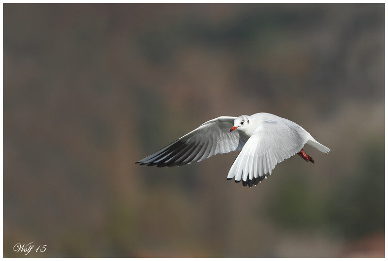 mouette-rieuse-15-02