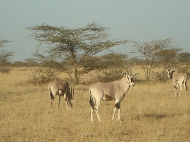 oryx in awash national park