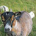 Les chèvres aiment les beignets chocolat !!