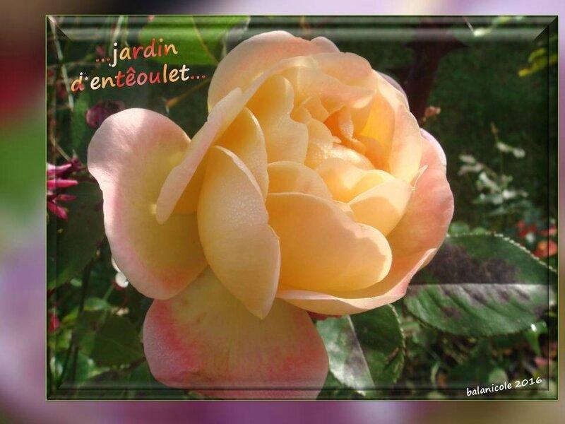 balanicole_2016_11_les nouveaux rosiers de balanicole_e comme jardin d'entêoulet_06