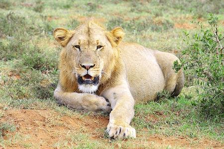Lion__parc_d_Addo__Afrique_du_Sud__1__b
