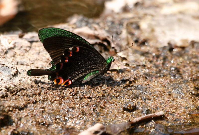 Papilio paris_Khao Yai_XRu