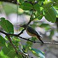 Rouge-queue à front blanc (Phoenicurus phoenicurus)