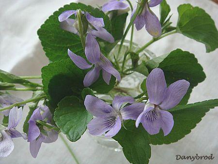 violettes3