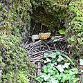 Morille commune au creux de son frêne.