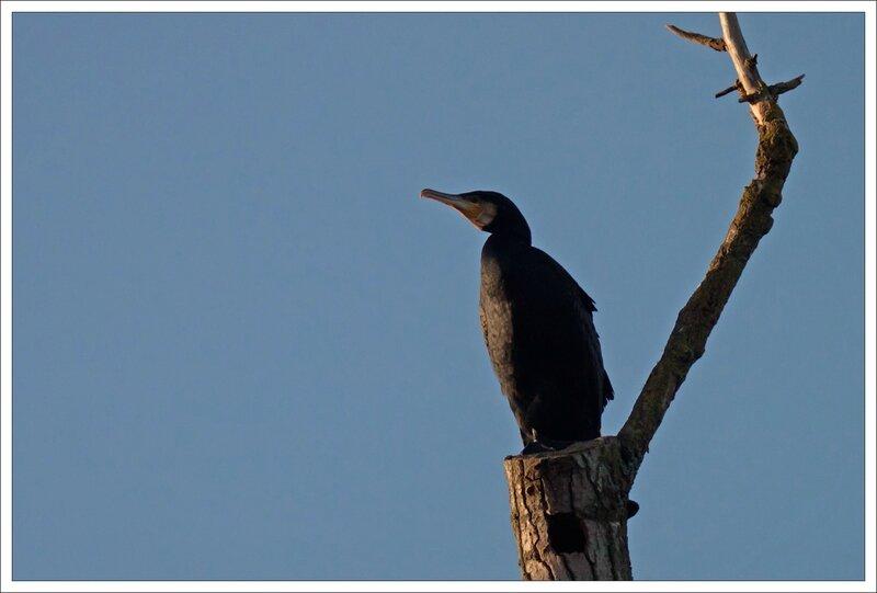 ville lulu cormoran arbre mort 151113