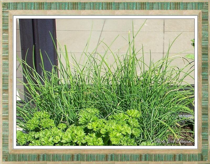 Jardinière d'extérieur Plantes Aromatiques (Ciboulette) Gouy sous Bellonne 2018 [4]