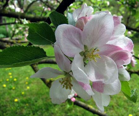 fleur_pommier_proche