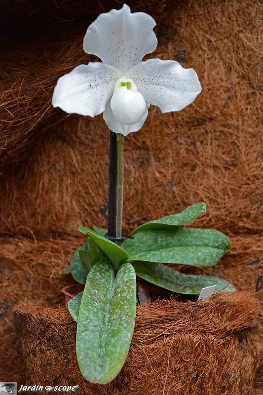 Orchidée-325