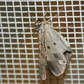 Ectropis herbuloti