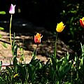 tulipes (Large)