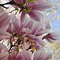 magnolia 9