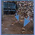 Chats en centre de tri - Chats dans déchets qui cherchent rats