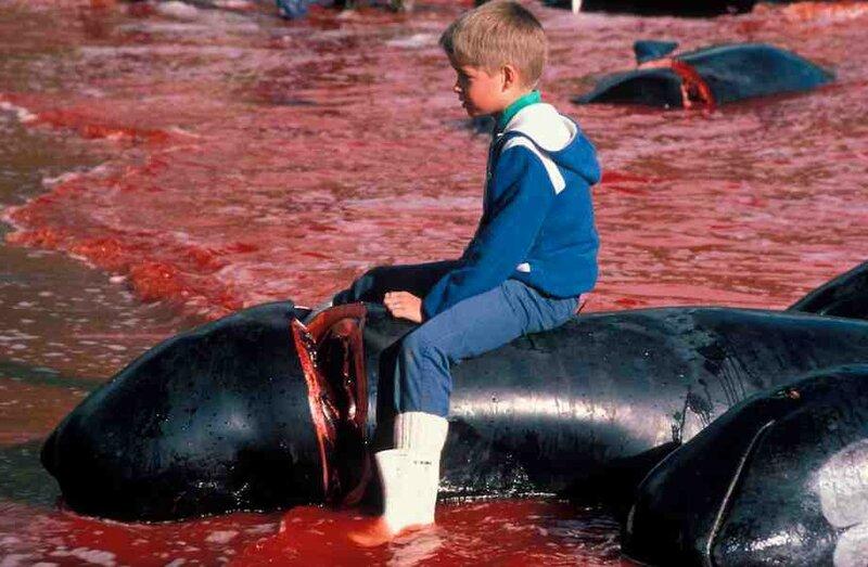 dauphins-massacre-Danemark-enfant